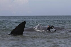 Volunteers rescue stranded whales in Indonesia