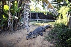Crocodile breeding in Bangladesh