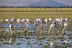 Scores of birdwatching enthusiasts flock to Lake Erçek in Turkey's Van province to observe flocks of flamingo birds as they take a break to freshen up near the water.