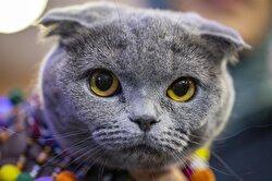 Felines compete in International Pursaklar Cat Beauty Fest