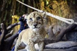 Purr-fect lion cubs pounce around at Istanbul Lion Park