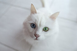 Endangered Ankara cat survives with 'love'