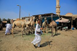 GIZA, EGYPT - AUGUST 06: Camels, which were preferred by Egyptians for Eid al-Adha