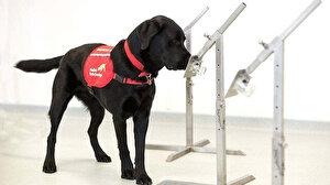 İngiltere'de arama köpekleri koronavirüs tespiti için eğitiliyor