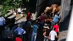 Sultangazi'de kapalı kasa kamyonette havasız kalan dört kurbanlık öldü, ikisi ise ölmek üzereyken kesildi
