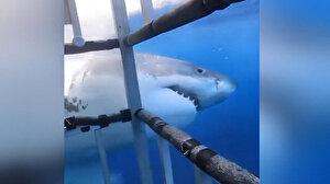 Denizde korku dolu anlar: Köpek balığı dalış kafesine saldırdı