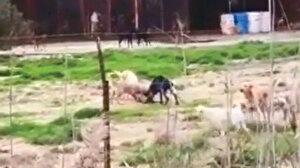 Aç bırakılan köpekler birbirini yedi