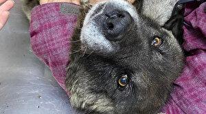 Hamile sokak köpeğinin üzerinden arabayla geçti: Arkasına bakmadan gitti