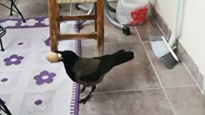 Balkondaki yumurtaları çalan karga kameraya yakalandı