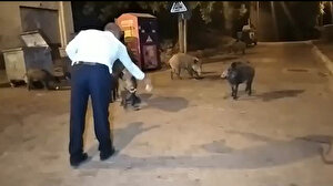 Aç kalan yaban domuzları şehre indi vatandaşlar elleriyle besledi