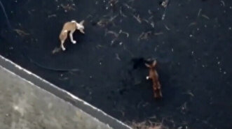 Drones feed hungry dogs trapped by lava on La...