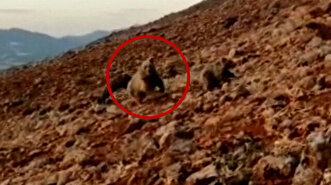 Guard dogs ward off angry bear on verge of at...