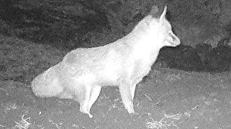 Security camera captures wolves' hunt in Turk...