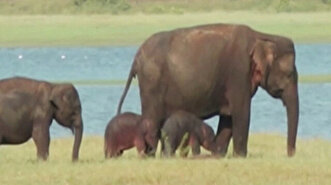 Rare baby elephant twins spotted in Sri Lanka