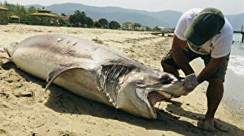 Huge corpse of cow shark washes up on Turkey shore