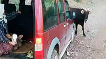 Protective mama cow cuts off villagers after they take away newborn calf