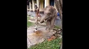 Clever elephant uses trunk to pump water to drink