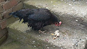 Bereaved hen won't leave side of dead chick after flooding