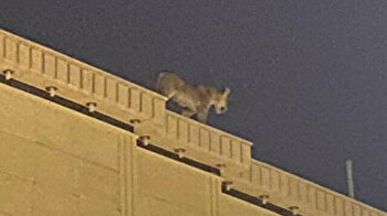 Saudi capital residents panic as lion takes stroll on roof
