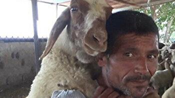 Turkish shepherd carries tired sheep on his back