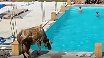 Curious cow takes dip in swimming pool with kids in Ukraine