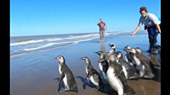 Adorable penguins waddle home to chilly seas after rehab in Argentina