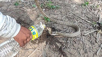 Man bottle-feeds parched snake water in India