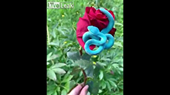 Sublime blue viper slithers around blood red rose