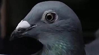 Take a look at the world's most expensive pigeon