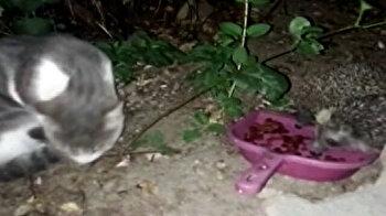 قنفذان يأكلان طعام قطة تركه لها صاحبها