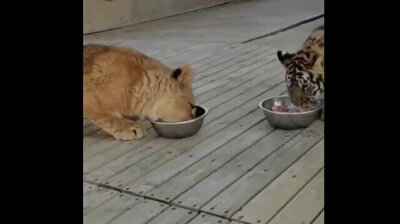 Clever little lion sits on baby tiger's head to steal its food