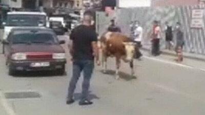 Calf on the loose stops traffic in Turkey's Zonguldak on eve of Eid al-Adha