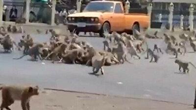 Monkey gangs go to war in Thailand