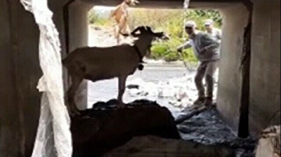 A Wonderful Life: Man throws lasso around runaway sacrificial goat