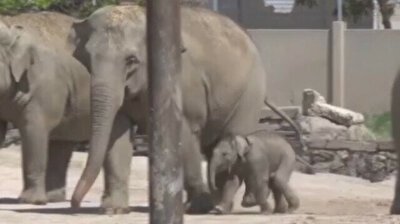 Baby elephant takes first steps in garden of Turkey's Izmir Natural Life Park