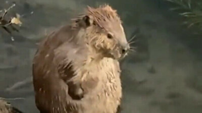 Cute beaver enjoys time at the spa