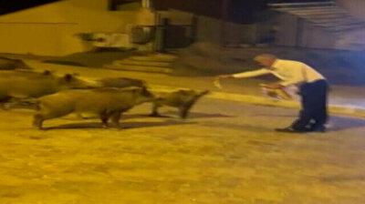 Locals hand-feed foraging wild boars in southwest Turkey