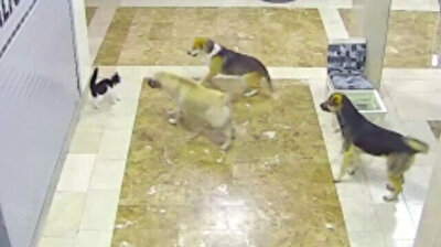 Don't mess with cats: Mother feline chases dogs attacking her litter