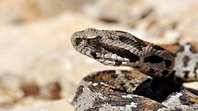 Endangered snake spotted in Turkey's Mount Nemrut