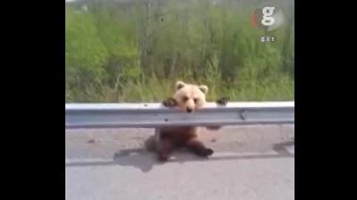 Mesmerized baby bear can't take its eyes off cars