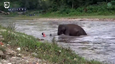 Brave elephant rushes to aid of man seemingly drowning