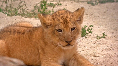 Rare Barbary lion cubs make public debut in Czech zoo