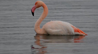 Flamingos freeze to death in central Turkey