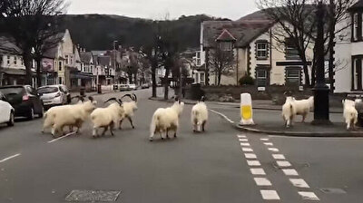 Goats take over empty Welsh streets, eat hedges amid lockdown