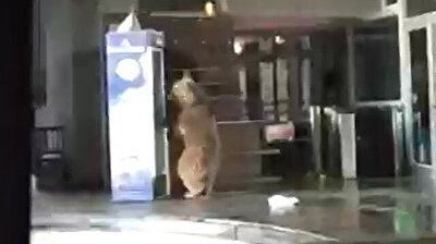Hungry bears go food shopping in Uludağ cable-car station amid lockdown