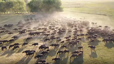A herd of buffaloes was videoed taking a bath in a local river at the end of a hot day in Turkey's Kayseri. in central Anatolia. Buffalo breeding supports the livelihoods of people living in the foothills of Mount Erciyes. Shepherds take their herds for a swim every day during summer in an area known as 'dark reeds'.
