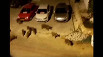 Drove of naughty pigs come to town in Turkey's Turquoise Coast Antalya