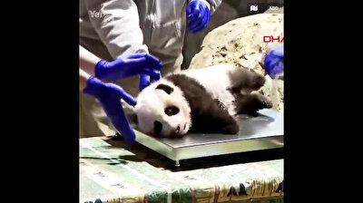 Video of cute baby panda getting checkup goes viral