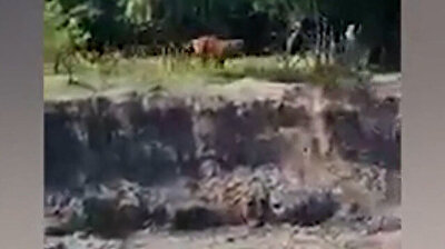 Terrifying moment Royal Bengal tiger attacks Indian villagers in Tezpur