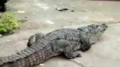 تمساح عملاق يتجول في شوارع الهند وسطة دهشة الناس